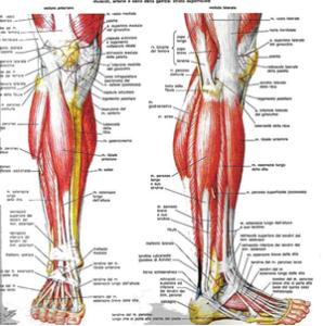 Infiammazione del tibiale anteriore: ruolo della fisioterapia mirata